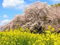 江戸時代から桜の名所として有名だった「熊谷桜堤」  2kmに渡って、500本の桜のトンネルが続いています  寄り添うように咲く菜の花は、自生だとか