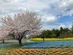 色とりどりの花が植えられていました。  桜(ピンク)・菜の花(黄色) ネモフィラ(ブルー)・あとオレンジの花のカルテットだー  ところで、オレンジの花はなんでしょう?・・