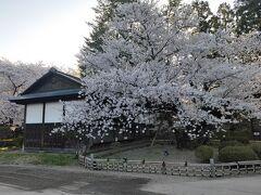 朝の桜もきれいです!