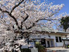 松前城です。とりあず、本丸前に!ソメイヨシノが満開です!