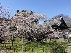 血脈桜です。古木で味があります