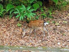 【屋久島西部林道 ヤクシカ】 鹿児島  2013年8月  世界遺産に指定されている地域内に【西部林道】がありますね…  ヤクザルも道沿いに出没しますね…