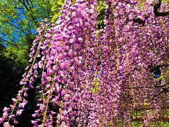樹齢1,200年の特別天然記念物「牛島の藤」は爽やかな春風にゆれていました。 濃い目の藤紫が綺麗です。