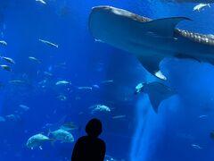 大水槽でジンベエザメが優雅に泳いでいました。 この水槽は飽きずにずっと見ていられます。