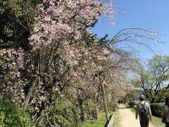 植物園を出てから 賀茂川沿いの小径 「半木の道」を歩きます。 うぅぅ~ん!青空が枝垂れ桜を映えさせてるぅ!