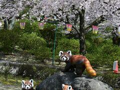 満開の桜の下にレッサーパンダ親子。