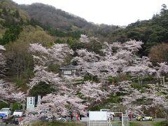 桜がモリモリ咲いてます。