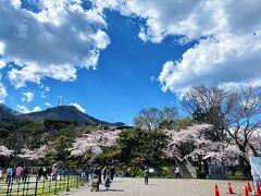 桜が満開との事なので 函館公園へお花見にやってきました。