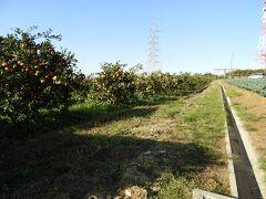 横根稲荷神社に向かう途中のミカン畑。       目指す神社は、直ぐ近くです。
