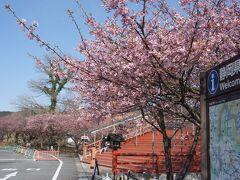 御殿場高原時の栖に寄り道  ここにも河津桜!