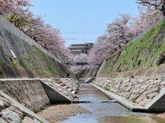 妙法寺川公園    満開時には,500mにわたって約400本の桜がアーチを形作る。