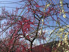 海外旅行に行けないので越生梅林に梅の花を見に来ました。