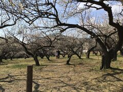 越生梅林の梅祭りはコロナの影響で2021年は中止だそうですが大勢の人で賑わっていました。 ミニSLも中止だった。