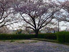 桜を求めて、久留米百年年公園へ。桜吹雪に、思わず声をあげそうになりました。
