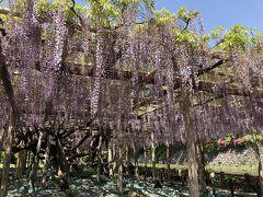 江戸時代から続く、樹齢200年の藤です。