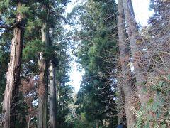 月見坂の杉が立派。