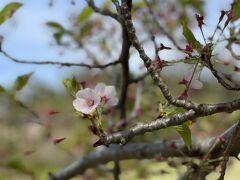 日和山公園に到着。  残念ながらソメイヨシノは既に終わってる。 2021年は全国的にソメイヨシノ咲くの早かったしね。