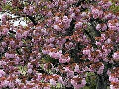 日和山公園を再度ウロウロ。  園内はソメイヨシノは姿を消して、八重桜が真っ盛り。