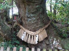 欅の巨木。