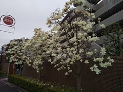 西立川駅前白木蓮「白モクレン」(3月20日)