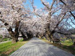 整備された桜の遊歩道はまさに桜のトンネル 所々に「一方通行」「順路」といった案内板がでているので、人が多い時間には一方向にしか歩けないようにしているようです。