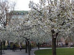 ベルツェリー公園 桜が咲いていてきれい。