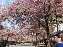 Bysistorgetの桜もきれい。