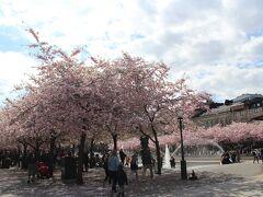最後に王立公園の桜をもう一度見ることに。