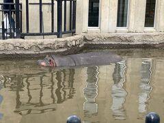 カバは水の中で元気に泳いでいました。