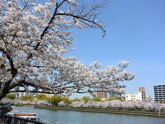 桜は満開ですが、平日とあって、人出はそれほど多くはありませんでした。  それと、インバウンドの観光客がいないのがやはり大きい。  これならさくらクルーズ船に並ばなくても乗れるんじゃないかと川港の天満の八軒家浜まで歩いて行ってみることにしました。