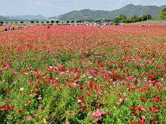 一面のポピー。この地ではヒマワリなど季節の花をかわるがわる敷地いっぱいに咲かせている