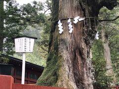 参道の途中に立つ『縁結びの御神木』です。 杉の大木の幹に楢の木が寄生している珍しい木です。 『すき(杉)なら(楢)一緒に』という語呂合わせで、縁結びにご利益のある木とされています。