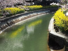 秋にも訪れた毘沙門堂ですが、この時期は山科駅から毘沙門堂へ向かう途中にある山科疏水が桜と菜の花で彩られ、何とも春らしい景色になっていました。