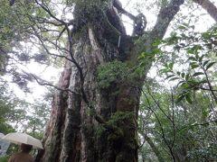 直径は2.6m位で縄文杉の半分くらいなのですが、近くまで行けるので縄文杉より大きさを感じやすかったです