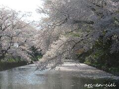 早速、南角の花筏スポットをチェック。 うわぁ~、もう花筏ができかけですね~。 桜の花の重みで、水面につきそう♪