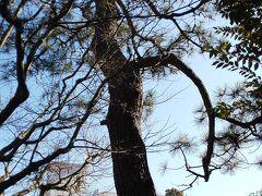 その2でも紹介した一本松坂の由来にもなってる一本松はこちらです。  一本松坂のとなりにあります。ずいぶん高くすくすくと育っています。