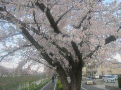 で、昭和末期の頃から慣れ親しんできた香流川緑道の桜。  令和になってから花の盛りのシーズンに眺めるのは初めてのことです。  うーん、素晴らしい。