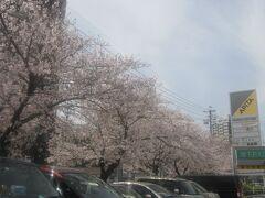 最終的には香流橋から道路沿いを歩いて、アピタ千代田橋店まで歩きました。 (位置情報はこのアピタ内のスガキヤにて。)  ここの駐車場前にもちょっとした桜並木があります。