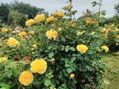 大神ファームの薔薇園 とても綺麗な黄色のバラの花