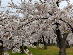 青森港行きのフェリーに乗る前に五稜郭公園を散策し、満開の桜を眺める。