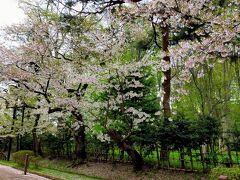 公園内を散策。 ソメイヨシノは、殆ど散っていた。