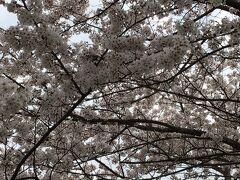 飯能ライオンズ桜並木