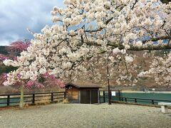 ダムの忠魂碑の横にある桜です 満開でした