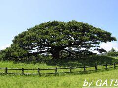 島のシンボル。 島の北にある念頭平松、樹齢300年の松。