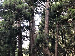 早速出発。 島の中央を南北に横断する県道316号線を行きます。途中「かぶら杉」と言う木を鑑賞。