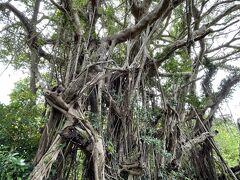 笠利町前肥田にある奄美一巨大なガジュマルの木を見にいきました。 圧倒的な存在ですね。