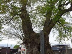 東根の日本一の大ケヤキ(幹回り16年 推定樹齢1500年以上 南北朝時代の1347年頃、小田島長義が城内に植栽したといわれています。ここは以前、東根城で1622年廃城、その後愛宕神社となり、その後、小学校となりました。)