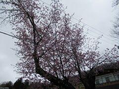 まだ桜が咲いてました。