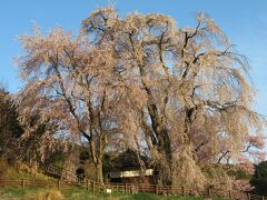 勝間薬師堂のシダレザクラ。かなりの巨木。