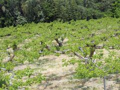 途中見かけた柿畑。 羽茂地域はブランド佐渡柿の一大産地。  (なんでも、佐渡農協合併時には羽茂農協は加わらなかったとか。)